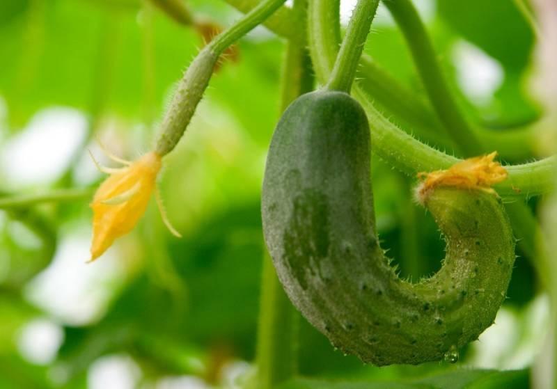 Причины желтения листьев огурцов и закручивания маленьких плодов растения